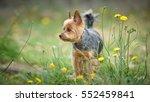 Yorkshire Terrier Dog Standing...