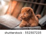 Lovely Brown Puppy Dog Portrai...