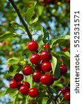 sour cherry fruits hanging on... | Shutterstock . vector #552531571