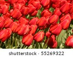 Red Tulip Flowerbed