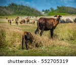 Ewe Barbados Blackbelly Sheep...