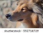 Rough Collie Snout Profile Sof...