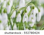 spring snowdrops    Shutterstock . vector #552780424