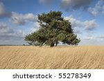Solitary Pine Tree In A Field