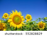 sunflowers garden. sunflowers... | Shutterstock . vector #552828829