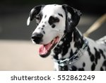 Dog Dalmatian Outdoors In A...
