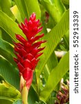 Small photo of Tropical Patio Plants. Red Ginger. alpinia purpurata in Guatemala