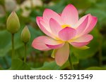 Pink And White Lotus Flowers O...