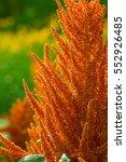 Small photo of orange amaranth (Amaranthus cruentus)
