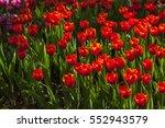 a beautiful tulip flower in...   Shutterstock . vector #552943579