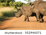 white rhinos roaming on the... | Shutterstock . vector #552944371