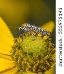 Small photo of ailanthus webworm,Atteva aurea, is an ermine moth found in the United States