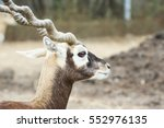 Male Indian Blackbuck Antelope...