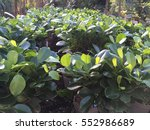 Ficus. Ficus Leaves. Green...
