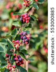 Small photo of Ripe amelanchier berries on bush