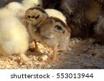 chicken. | Shutterstock . vector #553013944