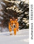 Small photo of American staffordshire terrier on snow, amstaff, stafford on sno, running american staffordshire terrier