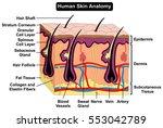 human body skin anatomy diagram ... | Shutterstock .eps vector #553042789