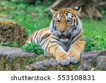 young bengal tiger lying on the ... | Shutterstock . vector #553108831