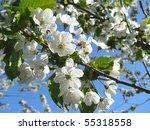 spring flowering of cherry tree ...   Shutterstock . vector #55318558