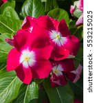 Small photo of Red Vinca flower blooms
