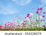 garden cosmos flowers striving... | Shutterstock . vector #553228579