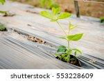 organic farming  lentils plant... | Shutterstock . vector #553228609