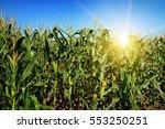 Ripe Corn Stalks On The Field....