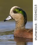 Small photo of American Wigeon (Anas americana) - Victoria BC, Canada