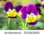 Violet Pansy Flower  Close Up...