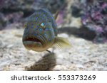 Blue Spotted Grouper Rayong...