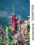 Small photo of Beautiful Hollyhock flower or Alcea rosea.