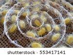 Cocoon Of Silk Worm