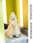 Small photo of The wonderful alpaca is sitting down for photography.