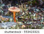 Mushroom Of The Genus Laccaria...