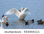 White Swan On A Winter Lake...