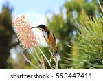 Small photo of Eastern Spinebill (Acanthorhynchus tenuirostris) feeding from Bottlebrush flower