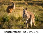 Two Kangaroos In A Field
