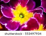 Bright Purple Primula Flowers...