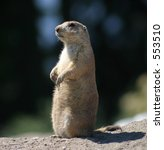 Prairie Dog at Attention - stock photo