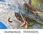 thaumetopoea pityocampa    view ... | Shutterstock . vector #553533241