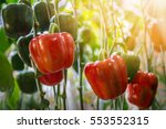 red and green peppers growing... | Shutterstock . vector #553552315