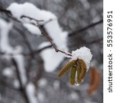 Small photo of Snow on catkins of alder tree in winter.