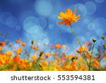 cosmos flowers  daisy background | Shutterstock . vector #553594381