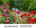 Stock photo red purple pink roses 55359952