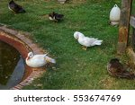Duck Relax Beside A Pond On Th...