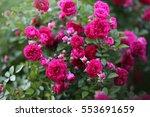 rosebush in the garden.