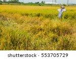 scarecrow in yellow rice field | Shutterstock . vector #553705729