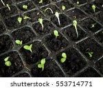 the sapling on pot. | Shutterstock . vector #553714771