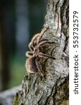 Small photo of Furry tarantula alfresco walking along the tree trunk.